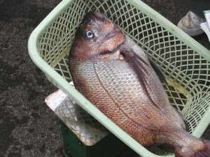 真鯛の食材